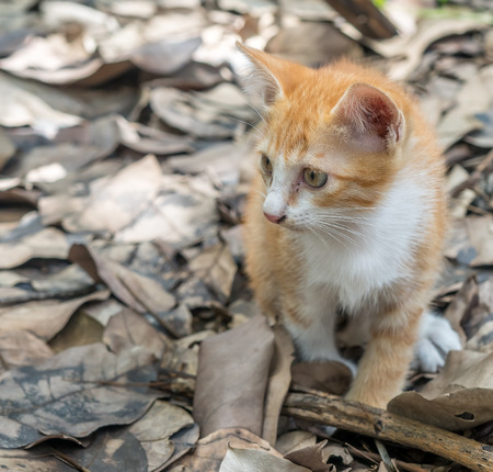 Small cute golden brown kitten toileting on dry leaves in outdoor backyard garden under natural light, selective focus on its eye