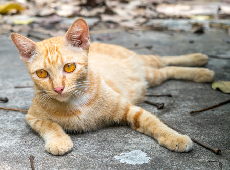 untidy: Adult golden brown cat lay on outdoor untidy backyard garden under natural light, selective focus on its eye