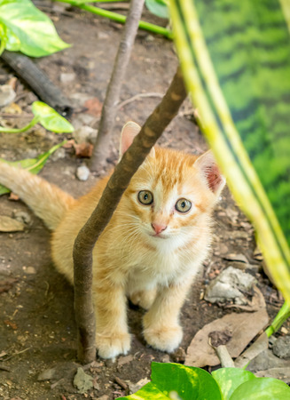 Small cute golden brown kitten hide in backyard garden under natural light, selective focus on its eye