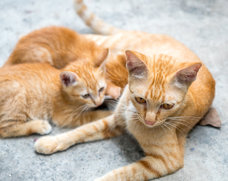 Mother brown golden cat breast feeding her children on concrete outdoor backyard under natural light, selective focus on its eye Stock Photo