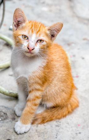 Small cute golden brown kitten lay on outdoor concrete backyard floor under natural light, selective focus on its eye Stock Photo