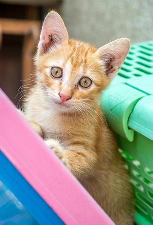 Small cute golden brown kitten stand beside green basket in outdoor backyard under natural light, selective focus on its eye