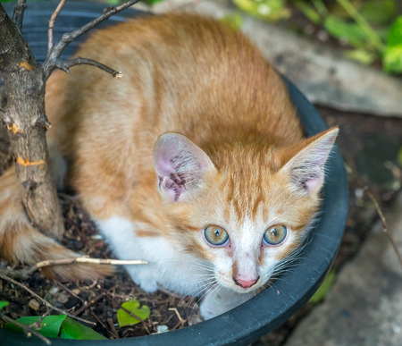 untidy: Small cute golden brown kitten lay curled up inside flowerpot in untidy outdoor backyard garden, selective focus on its eye