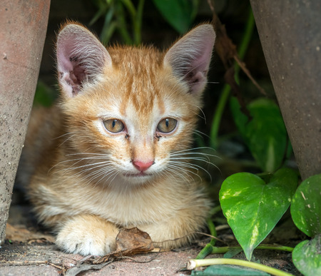 Little cute golden brown kitten hide in outdoor backyard garden, selective focus on its eye Stock Photo