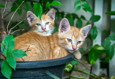 Two sibling small cute golden kittens lay curled up inside flowerpot in untidy outdoor backyard garden, selective focus on ones eye