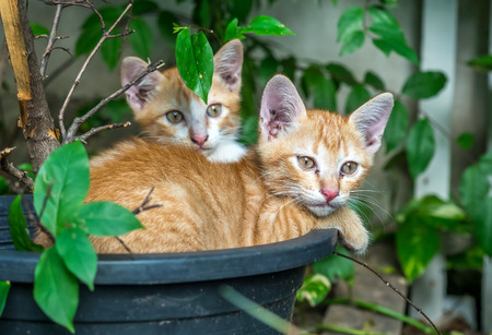 untidy: Two sibling small cute golden kittens lay curled up inside flowerpot in untidy outdoor backyard garden, selective focus on ones eye