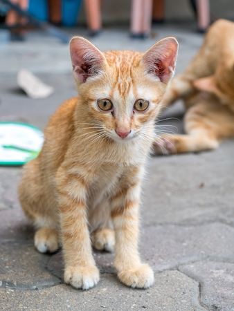 Little cute golden brown kitten lay comfort on outdoor concrete floor, selective focus at its eye