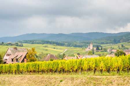 Viticulture (grape field agriculture) with green grape at road side in Riquewihr, France, under cloudy rain sky Stock Photo