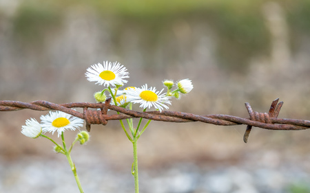 Contrast symbols between white flowers and barbed wire, peaceful and imprison Stock Photo