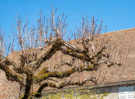 Leafless tree in Chichilianne, France, under clear blue sky