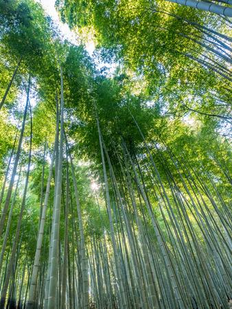 Bamboo forest, landmark of tourists, in Arashiyama region in Kyoto, Japan
