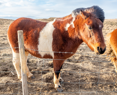 Icelandic horse, outstanding horse breed in the world, in outdoor farm with strong wind blow, selective focus at one eye Stock Photo