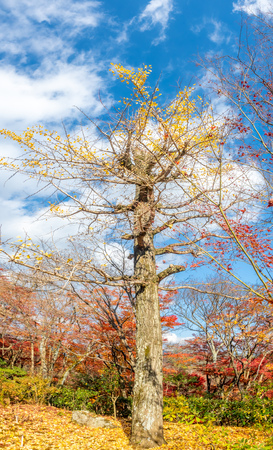 Tall leafless tree with fallen colorful leaves in autumn season