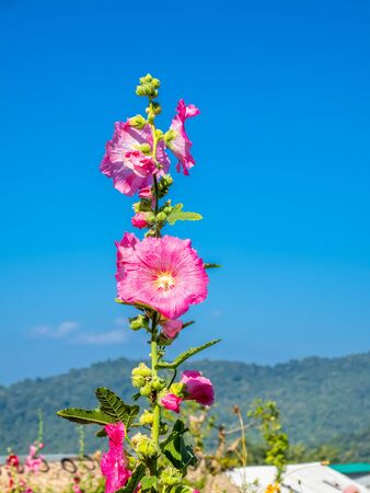 Large pink flowers in garden in winter season among mountains in Chiang Mai, Thailand 스톡 콘텐츠 - 136799835