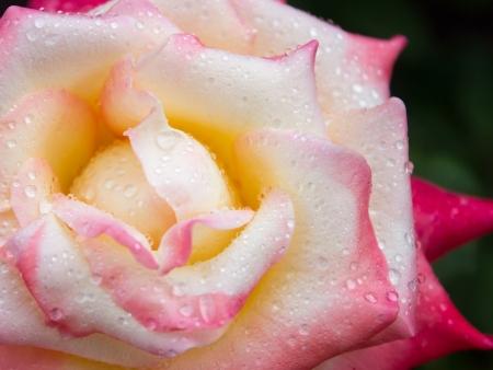 a pink and white rose 版權商用圖片