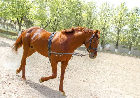 Powerful brown horse training at daily routine workout before championship racing with his rivals