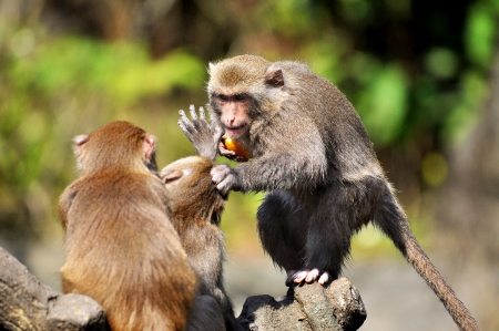 fierce competition: Monkey fights Lots of competition Stock Photo