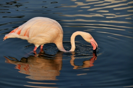 The  Greater flamingo Drinking photo