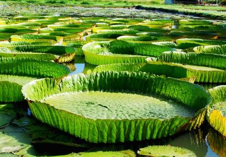 Huge Lotus leaf Stock Photo - 18420788