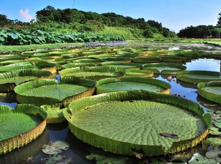 Huge Lotus leaf