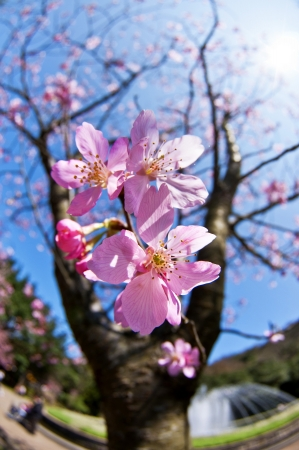 Taiwan Yangmingshan National Park,Cherry blossom