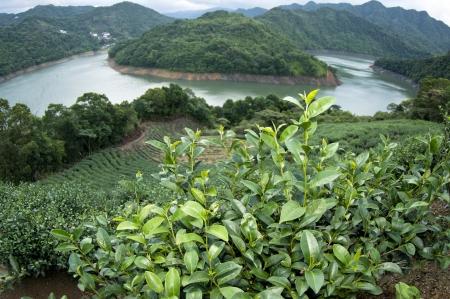 Beautiful tea plantation in Taiwan Taipei photo