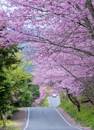 Beautiful cherry blossom in Taiwan Wuling Farm