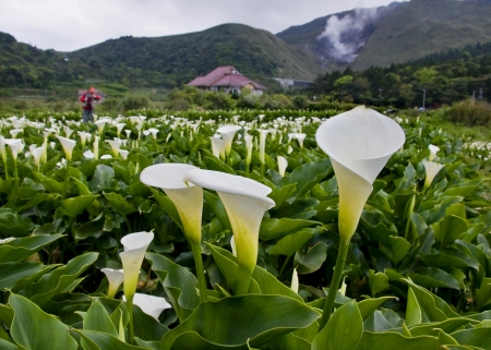 The Calla lily farms in Taiwan Taipei