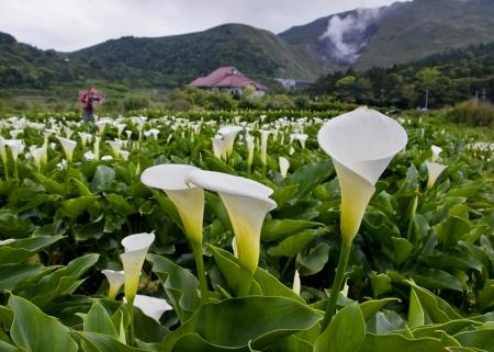 taipei: The Calla lily farms in Taiwan Taipei