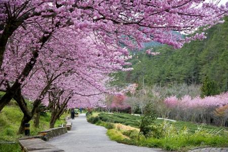 Beautiful Sakura Garden in Wuling Farm  Taiwan