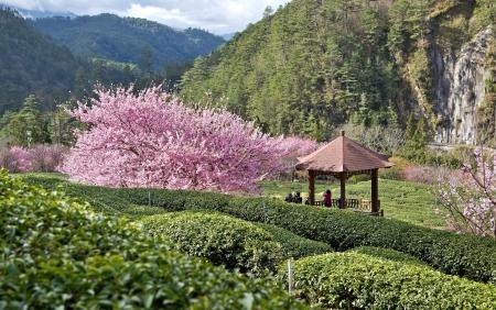 Beautiful Sakura and Tea Garden in Wuling Farm  Taiwan