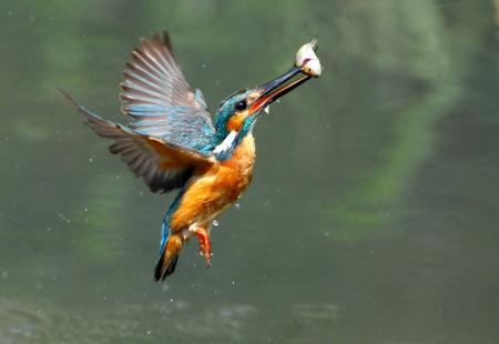 Kingfisher foraging 写真素材
