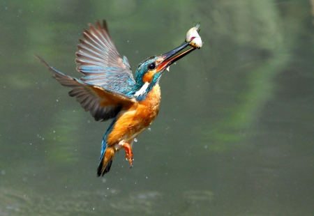 Kingfisher foraging 版權商用圖片