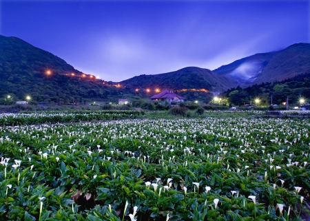 The Calla lily farms Night view in Taiwan Taipei