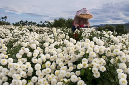 Daisy fields harvested in Taiwan photo
