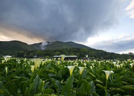 calla lily: The Calla lily farms view in Taiwan Taipei Stock Photo