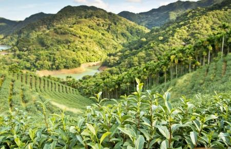Beautiful tea plantation in Taiwan Taipei 写真素材