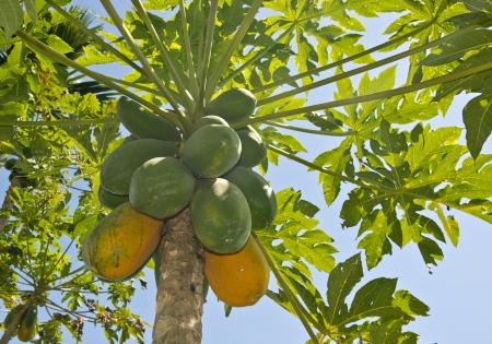 papaya tree: The papaya tree