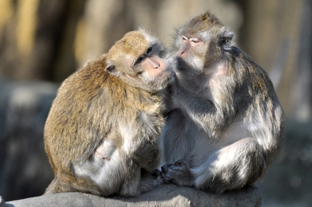 Two macaques