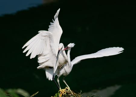 courtship: Wild birds courtship