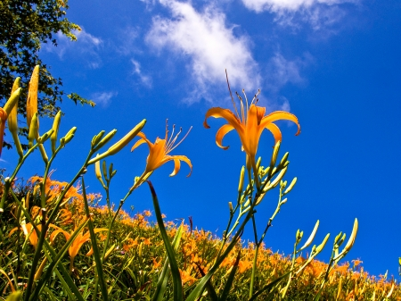 Lily flowers blooming in the blue sky