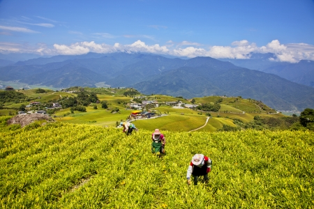 The Taiwan Liushidanshan mining lilies