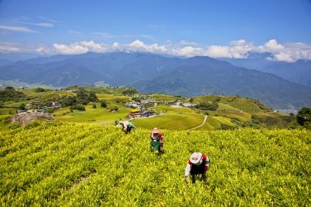 The Taiwan Liushidanshan mining lilies Zdjęcie Seryjne - 24444055
