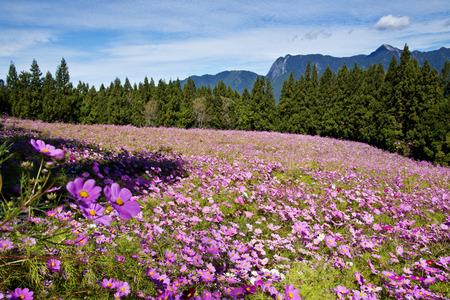 Beautiful flowers Field in Taiwan