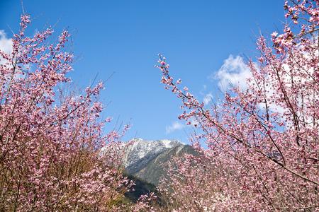 Mooie Sakura Garden in Wuling Farm Taiwan
