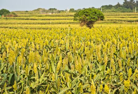 Beautiful Sorghum fields in Taiwan Kinmen