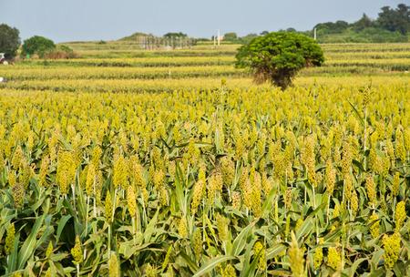 sorgo: Campos de sorgo hermosas en Taiw�n Kinmen