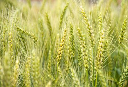 greenness: Wheat Fields Stock Photo