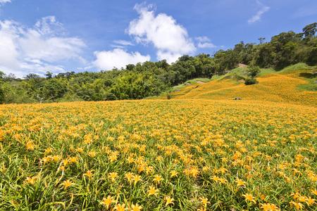 The beautiful Lily flower mountain of eastern Taiwan Zdjęcie Seryjne