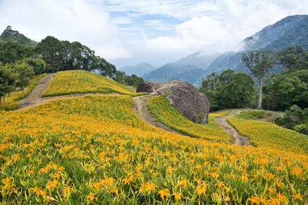 lily flowers: The beautiful Lily flower mountain of eastern Taiwan Stock Photo